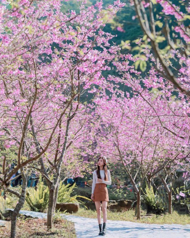 三峽大熊櫻花林|三峽賞櫻景點|新北賞櫻景點|賞櫻景點推薦|2021櫻花季