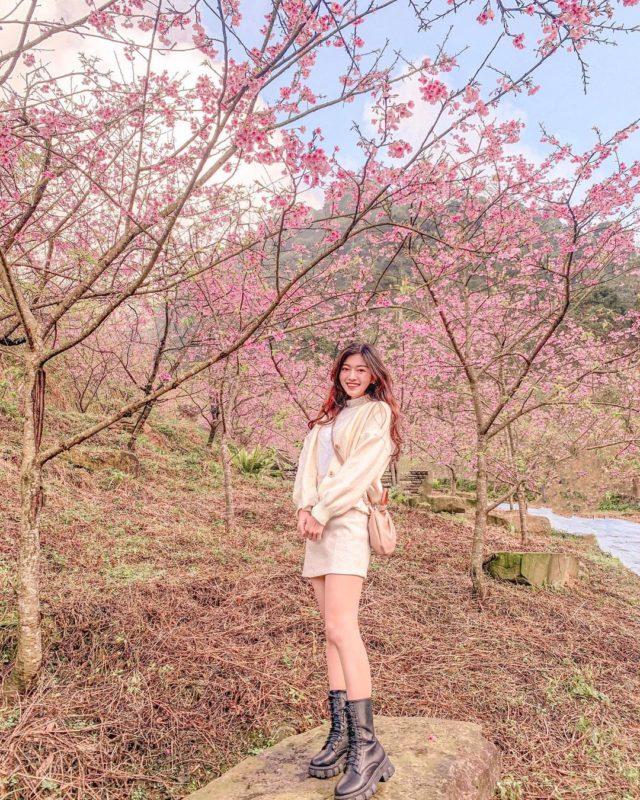 2021櫻花季|新北賞櫻景點|櫻花景點|三峽賞櫻景點|三峽大熊櫻花林|