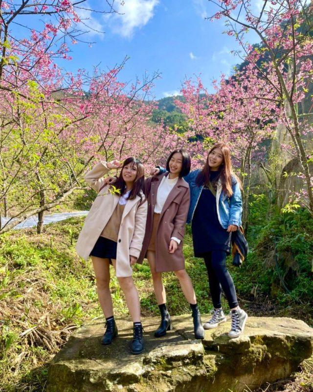 三峽大熊櫻花林|新北櫻花景點|三峽大熊櫻花林|2021櫻花季|櫻花景點|三峽賞櫻景點